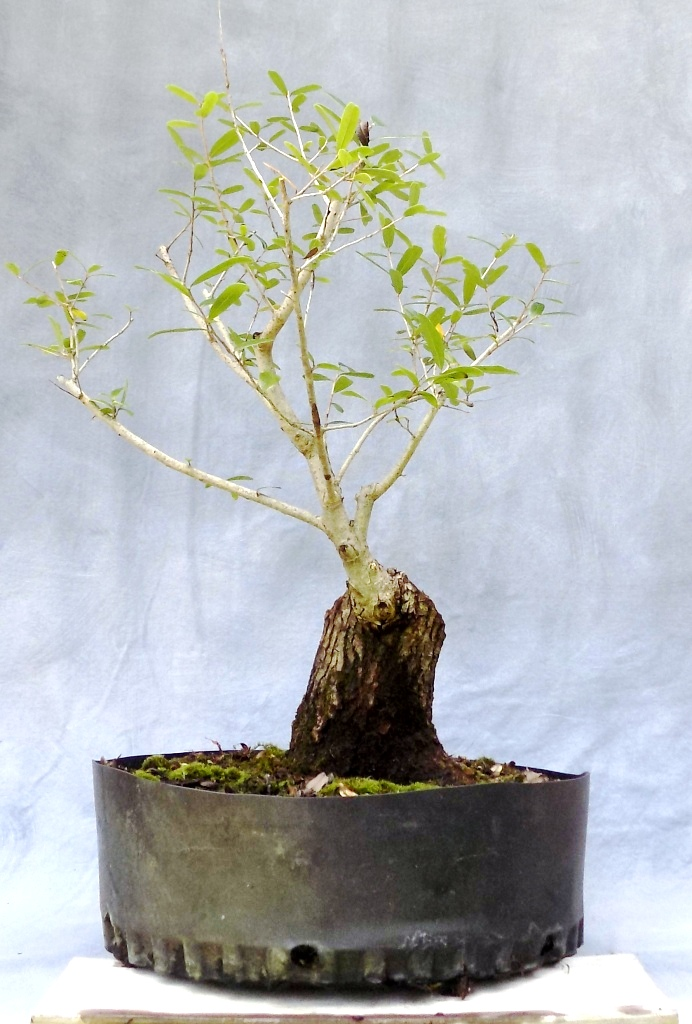 Water Oak (Waoakbonsai3)