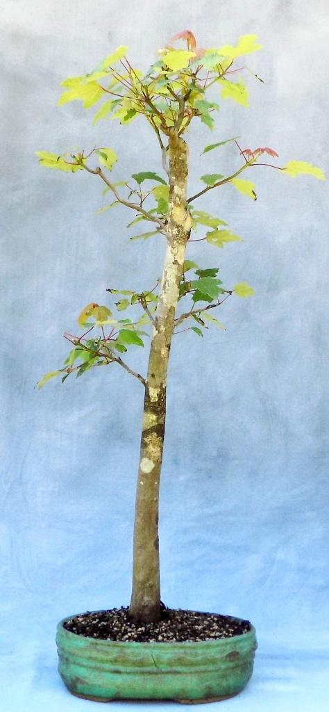 Swampmaple bonsai (1)
