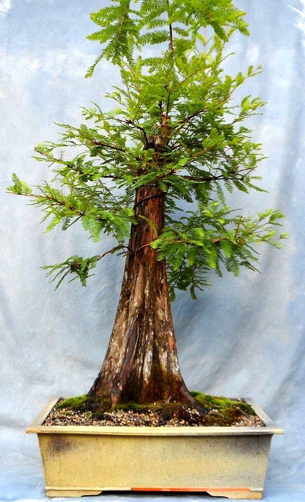 Bald Cypress Progression Bonsai South