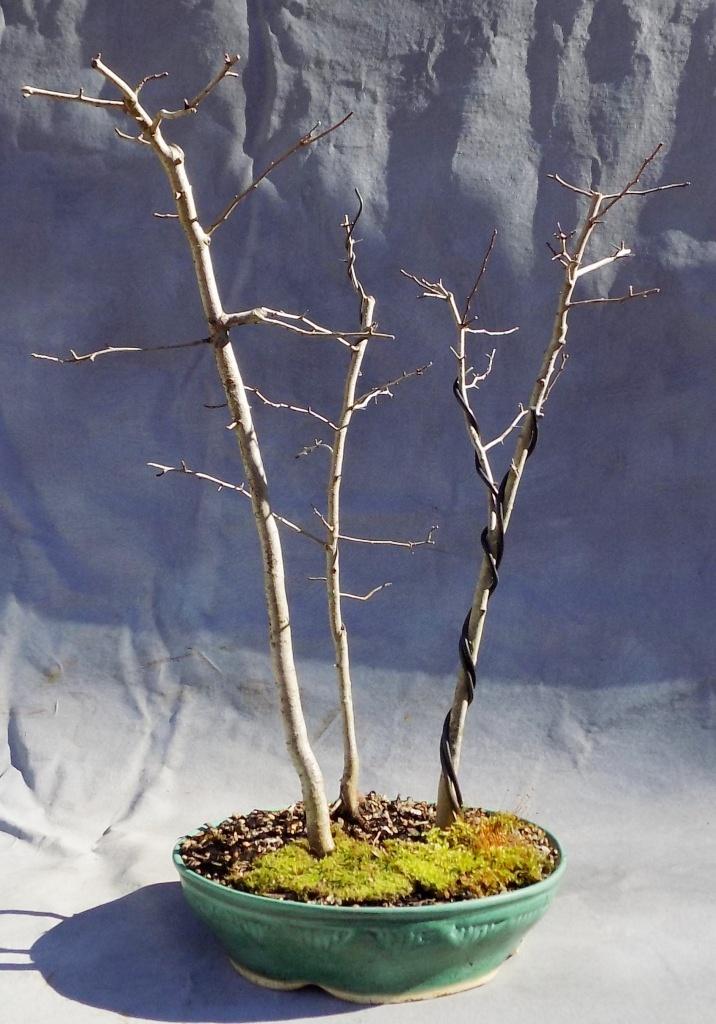 Hawthorn (Parsleyhaw6pre)