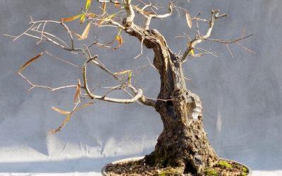 Bonsai Odds & Ends – Oak, Oak, Sweetgum