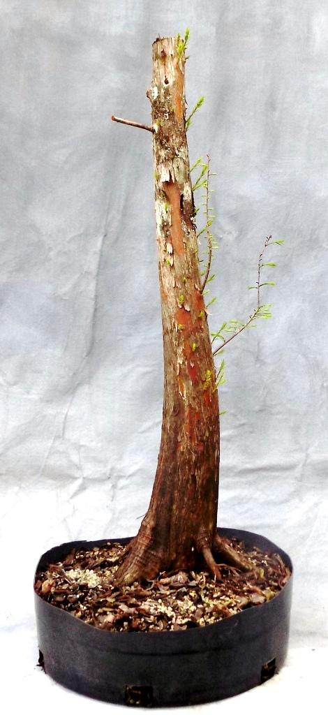 Bald Cypress (Cypressbonsai17)