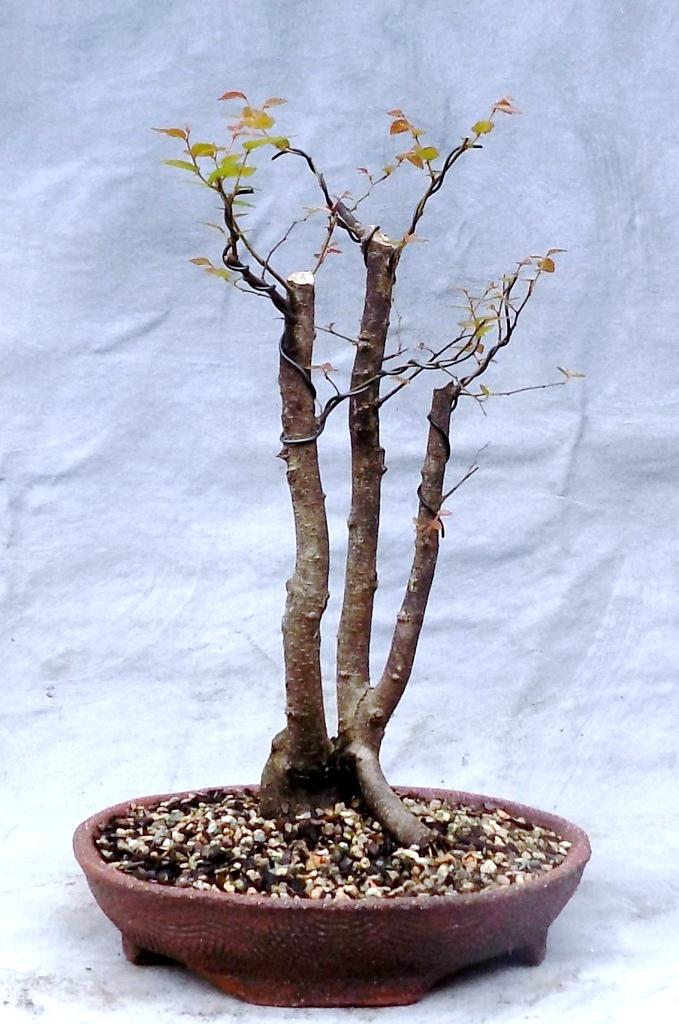 Water Elm (Waelm28pre)