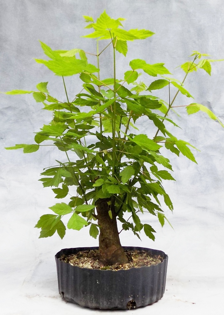 Boxelder Bonsai Bonsai South