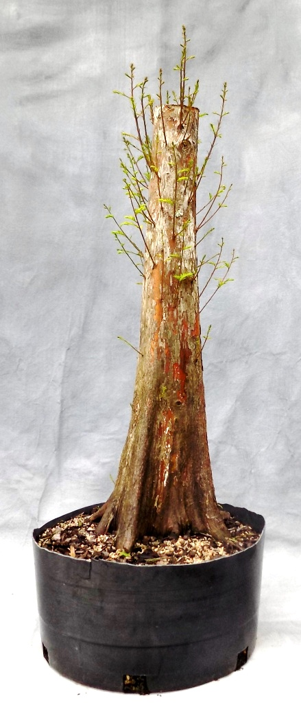 Bald Cypress (Cypressbonsai17)