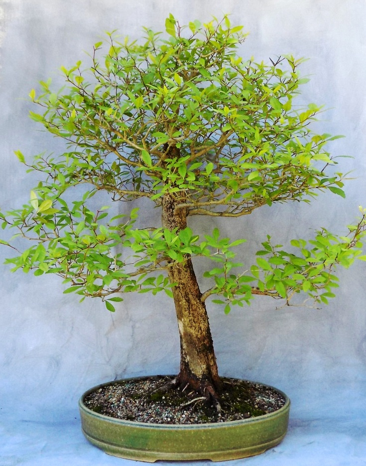Home Bonsai South