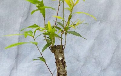 Bonsai Odds & Ends – Oak, Privet, Crape Myrtle