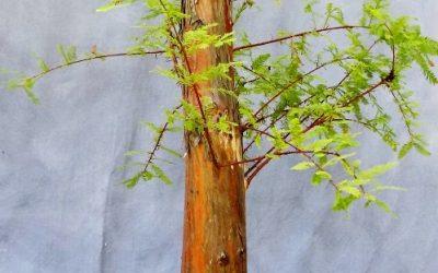 Styling A Big Bald Cypress