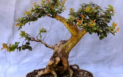 Bonsai Odds & Ends – Bald Cypress Defoliation + Styling, Pocomoke Crape Styling
