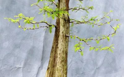 Bonsai Odds & Ends – Privet And Bald Cypress