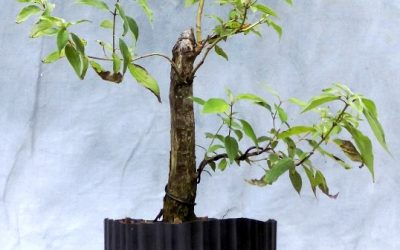 Roughleaf Dogwood Ugly Duckling Update