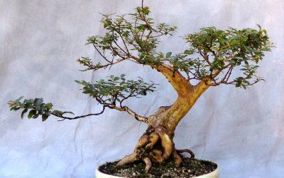 Checking In On A Few Trees – Pocomoke Crape, Trumpet Vine, Privet