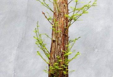 Formal Upright Bald Cypress – Development 101