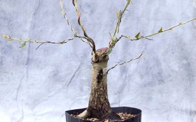 Coming Attractions – American Elm And Live Oak