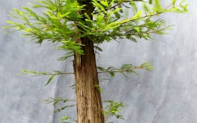 Bald Cypress Styling – Formal And Informal Upright