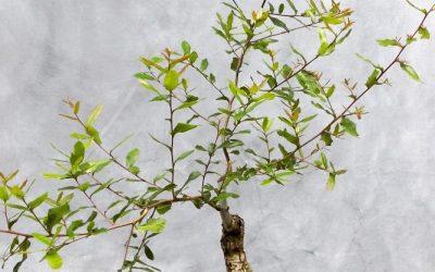 Rebuilding A Live Oak Bonsai