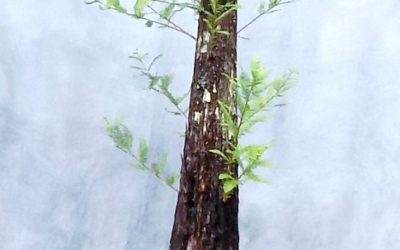 Monster Bald Cypress Available