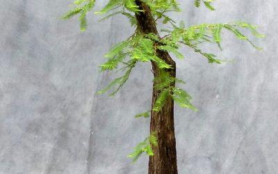 New Flat-Top Bald Cypress