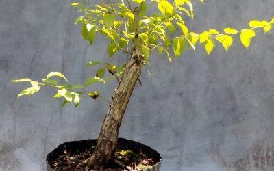 Making Bonsai Lemonade – Roughleaf Dogwood
