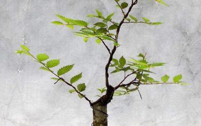 Bonsai Odds & Ends – American Elm, Lantana